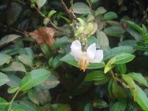 Fiore del tè Immagini Stock