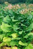 Fiore del tabacco Fotografie Stock