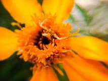 Fiore del tagete Fotografia Stock Libera da Diritti