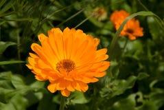 Fiore del tagete Fotografie Stock Libere da Diritti