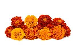 Fiore del tagete Fotografie Stock