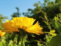 Fiore del tagete Immagine Stock Libera da Diritti