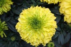 Fiore del tagete Immagini Stock Libere da Diritti
