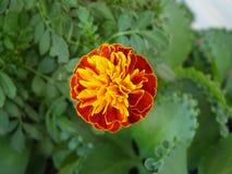 Fiore del tagete africano, Fotografie Stock