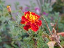 Fiore del tagete che fiorisce in Gheorgheni fotografia stock libera da diritti