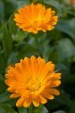 Fiore del tagete del Calendula Immagine Stock Libera da Diritti