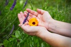 Fiore del tagete in mani femminili Immagine Stock Libera da Diritti
