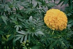 Fiore del tagete nel campo Fotografia Stock Libera da Diritti