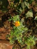 Fiore del tagete nella luce del giorno Fotografia Stock