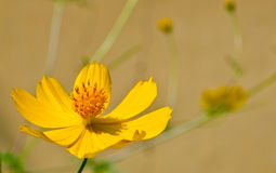Fiore del tagete o della calendula Immagini Stock