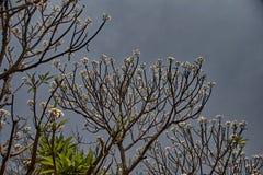 Fiore del tempio: ; La plumeria bianca fiorisce FrangipaniKalyan bianco fotografia stock