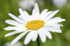 Fiore del tipo di margherita bianco della camomilla Immagine Stock Libera da Diritti