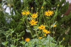 Fiore del topinambur Immagini Stock