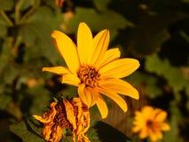 Fiore del topinambur in Gheorgheni fotografia stock libera da diritti