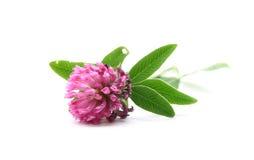 Fiore del trifoglio Fotografia Stock Libera da Diritti