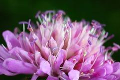 Fiore del trifoglio Fotografie Stock Libere da Diritti