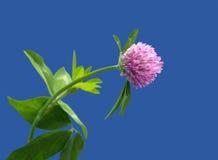 Fiore del trifoglio Fotografie Stock