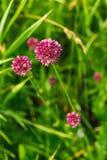 Fiore del trifoglio negli ambiti di provenienza di un'erba verde Immagine Stock Libera da Diritti