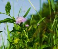 Fiore del trifoglio negli ambiti di provenienza di un'erba verde Fotografia Stock Libera da Diritti