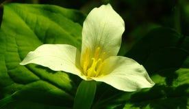 Fiore del Trillium Fotografia Stock Libera da Diritti
