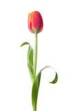 Fiore del tulipano Immagine Stock Libera da Diritti