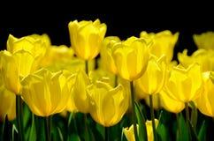 Fiore del tulipano Fotografia Stock Libera da Diritti