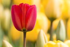 Fiore del tulipano Fotografie Stock Libere da Diritti