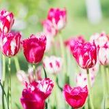 Fiore del tulipano Bello mazzo dei tulipani Tulipani variopinti Tuli Fotografie Stock