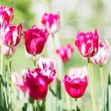 Fiore del tulipano Bello mazzo dei tulipani Tulipani variopinti Tuli Fotografia Stock Libera da Diritti