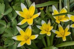 Fiore del tulipano botanico, lat Tulipa botanico Fotografia Stock Libera da Diritti