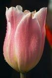 Fiore del tulipano con le gocce dell'acqua fotografia stock