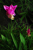 Fiore del tulipano del Siam Fotografia Stock Libera da Diritti