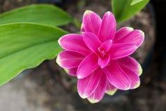 Fiore del tulipano del Siam fotografia stock