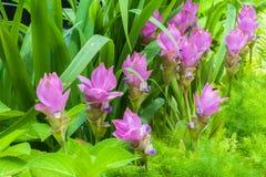 Fiore del tulipano del Siam sul giardino Fotografia Stock Libera da Diritti