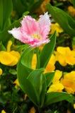 Fiore del tulipano della primavera Fotografie Stock Libere da Diritti