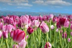 Fiore del tulipano della sorgente Immagine Stock