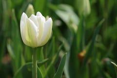 Fiore del tulipano e permesso verde Fotografia Stock Libera da Diritti
