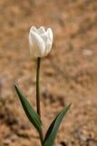 Fiore del tulipano e permesso verde Immagini Stock