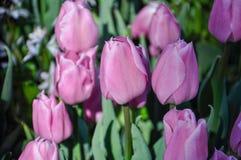 Fiore del tulipano Giacimento di fiori rosa del primo piano all'aperto Fotografia Stock Libera da Diritti