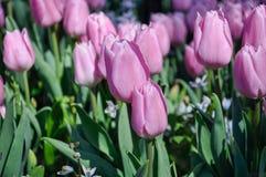 Fiore del tulipano Giacimento di fiori rosa del primo piano all'aperto Fotografie Stock Libere da Diritti