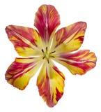 Fiore del tulipano isolato fotografia stock libera da diritti