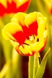 Fiore del tulipano nel chiangmai reale Tailandia della flora Fotografie Stock Libere da Diritti