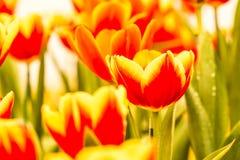 Fiore del tulipano nel chiangmai reale Tailandia della flora Fotografia Stock