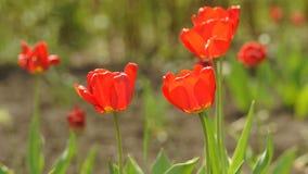 Fiore del tulipano in primavera video d archivio