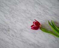 Fiore del tulipano su marmo immagini stock libere da diritti