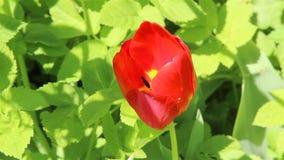 Fiore del tulipano in un giardino stock footage