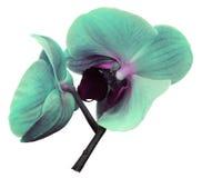 Fiore del turchese dell'orchidea Isolato su fondo bianco con il percorso di ritaglio closeup Il ramo delle orchidee Fotografia Stock