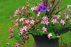 Fiore del vaso della petunia Immagini Stock Libere da Diritti