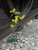 Fiore del Weed Fotografie Stock