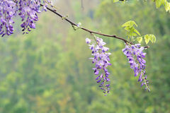 Fiore del Wistaria Fotografia Stock